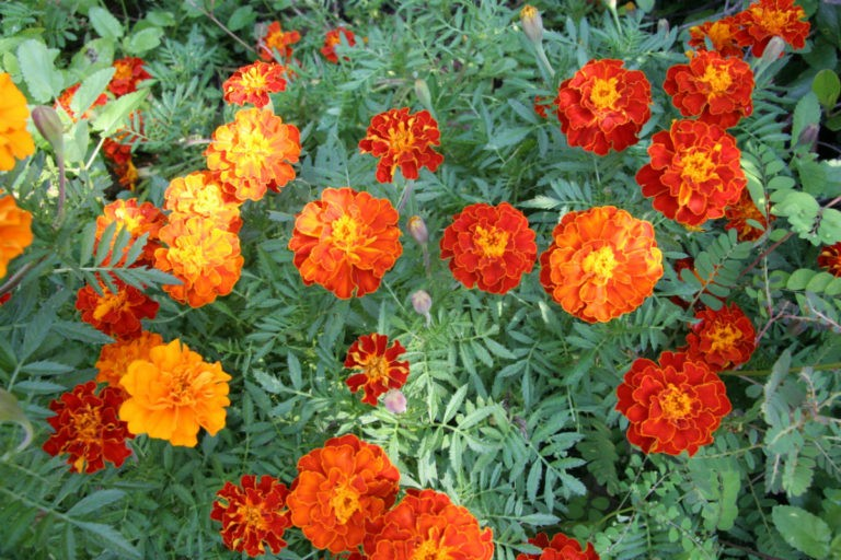 Marigolds Flowers | Plants That Repel Snakes. Plants that keep snakes away