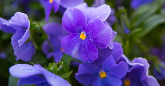 In February, the signs are on violets