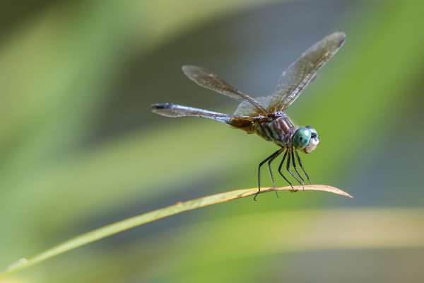 THE DRAGONFLY AS A TOTEM ANIMAL AND A SYMBOL OF TRANSFORMATION