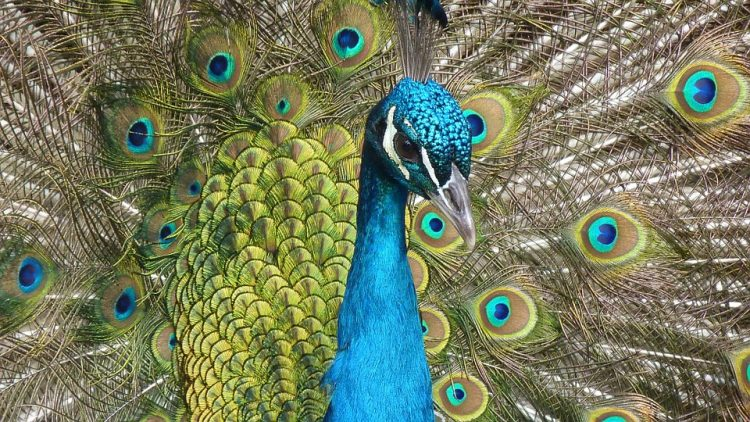 What Is The Meaning Of Peacock In Bible?