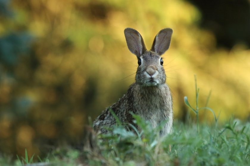 How to naturally repel rabbits from your garden?