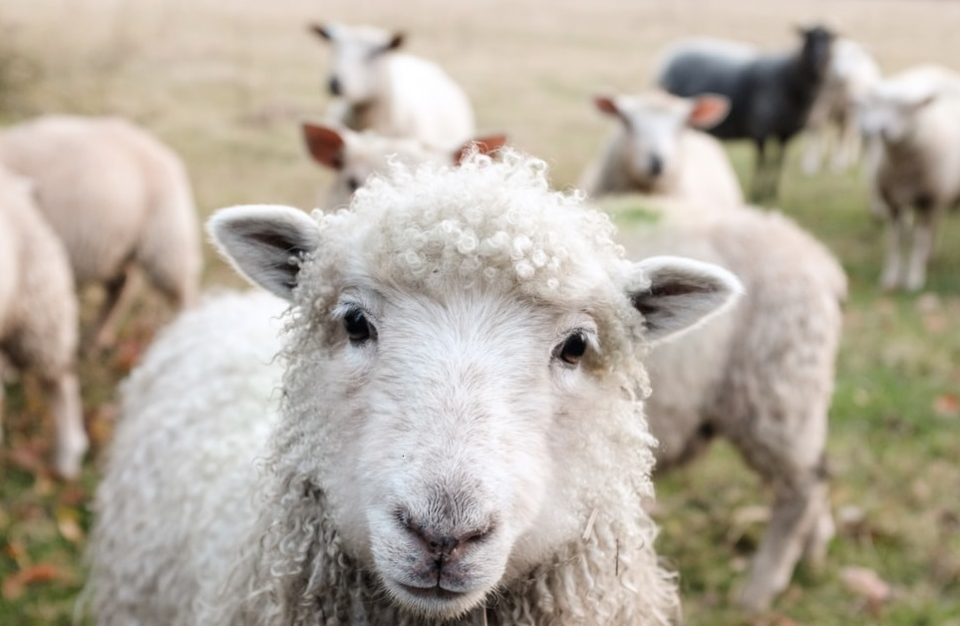 Difference between sheep and goats Biblically